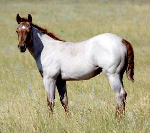 Weaver Quarter Horses - Welcome